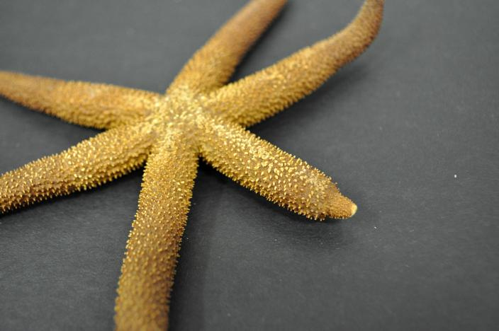 Image of a dry sea star specimen with arm in regeneration