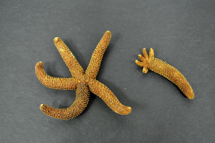 Imagae of dry sea star specimens