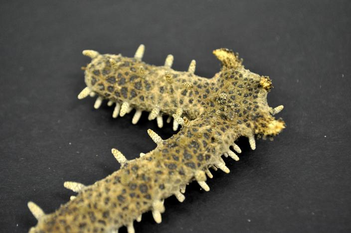 Imagae of dry sea star specimen