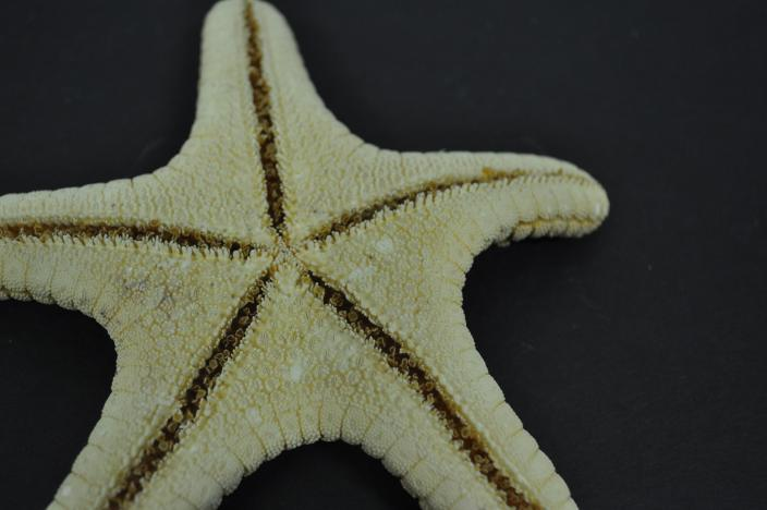 Image of a dry specimen from WA Museum sea star collection