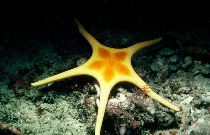 Image of an yellowish sea star which belongs to the species Iconaster longimanus