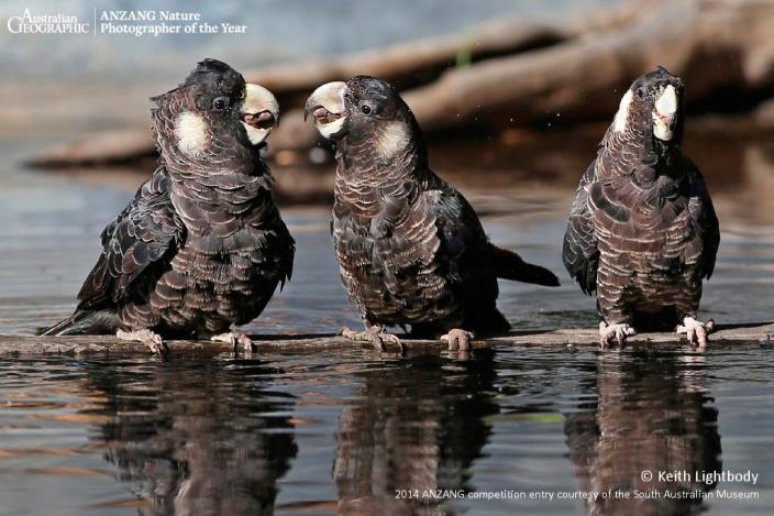 Threatened Species category winner. Social Drinking by Keith Lightbody, Western
