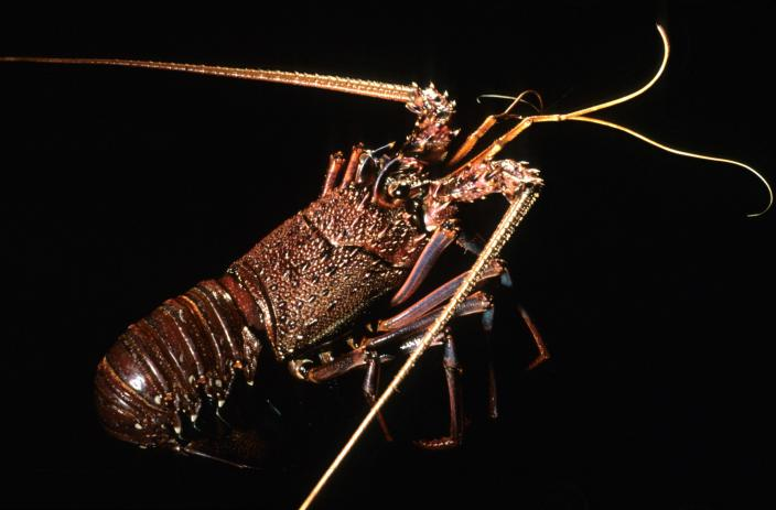 Image of a Western Rock Lobster
