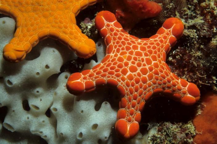 Image of an orange-red sea star which belongs to the species Pentagonaster