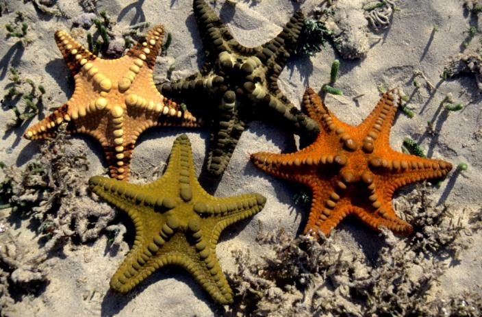 Group of sea stars which belong to the species Protoreaster nodulosus