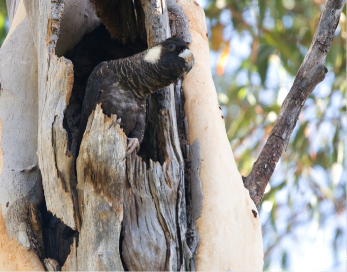 Baudin's Cockatoo (female) at nest site
