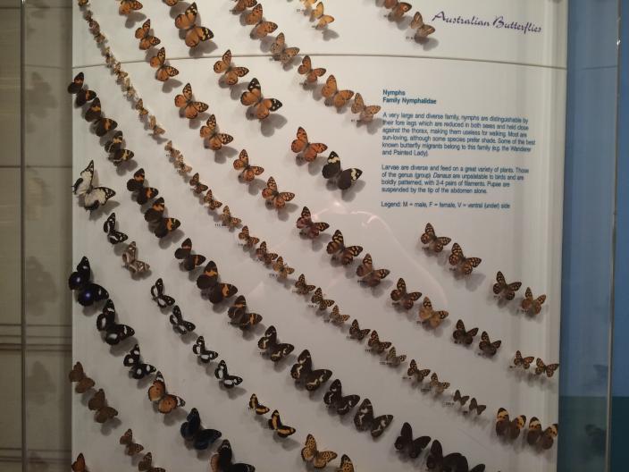 Australian Butterflies - Nymphs