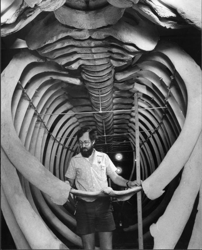 Museum staff member assembling the blue whale skeleton