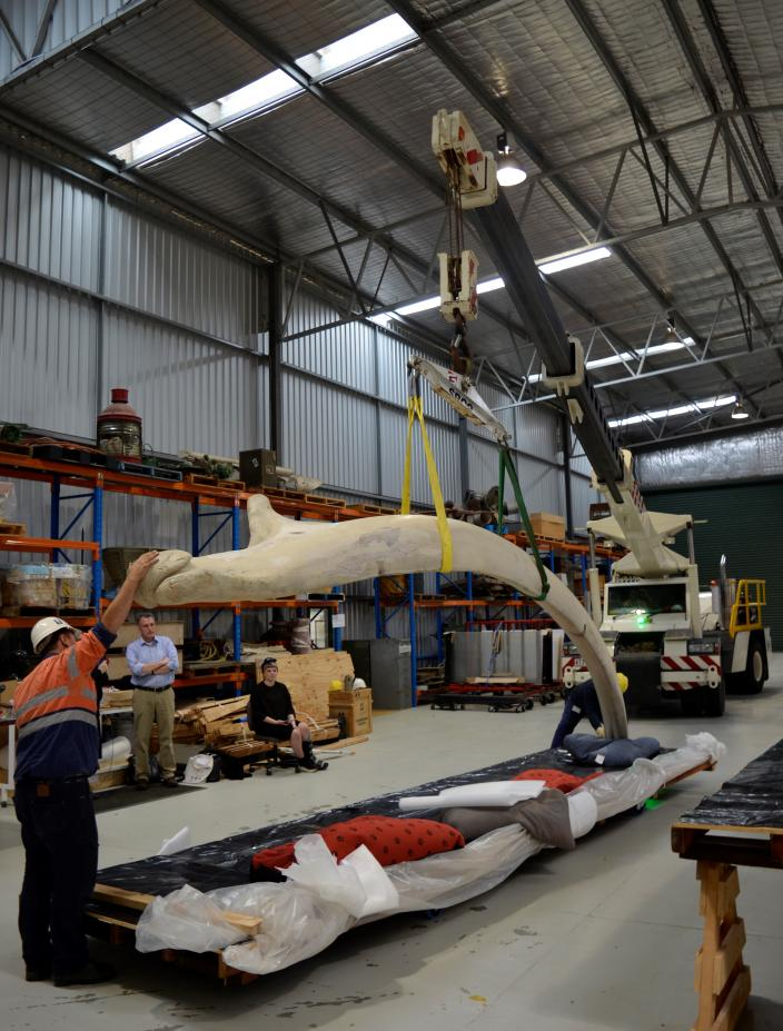 Blue whale bones being weighed at the Collection and Research Centre