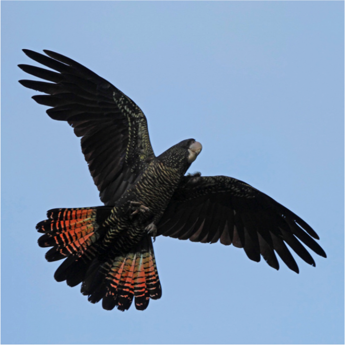 Female Forest Red-tailed Black Cockatoo