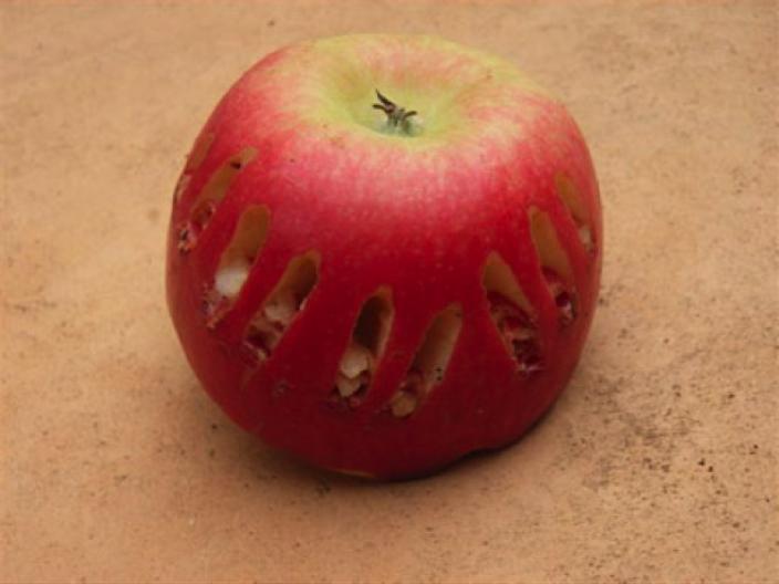 Cockatoo beak marks on an apple