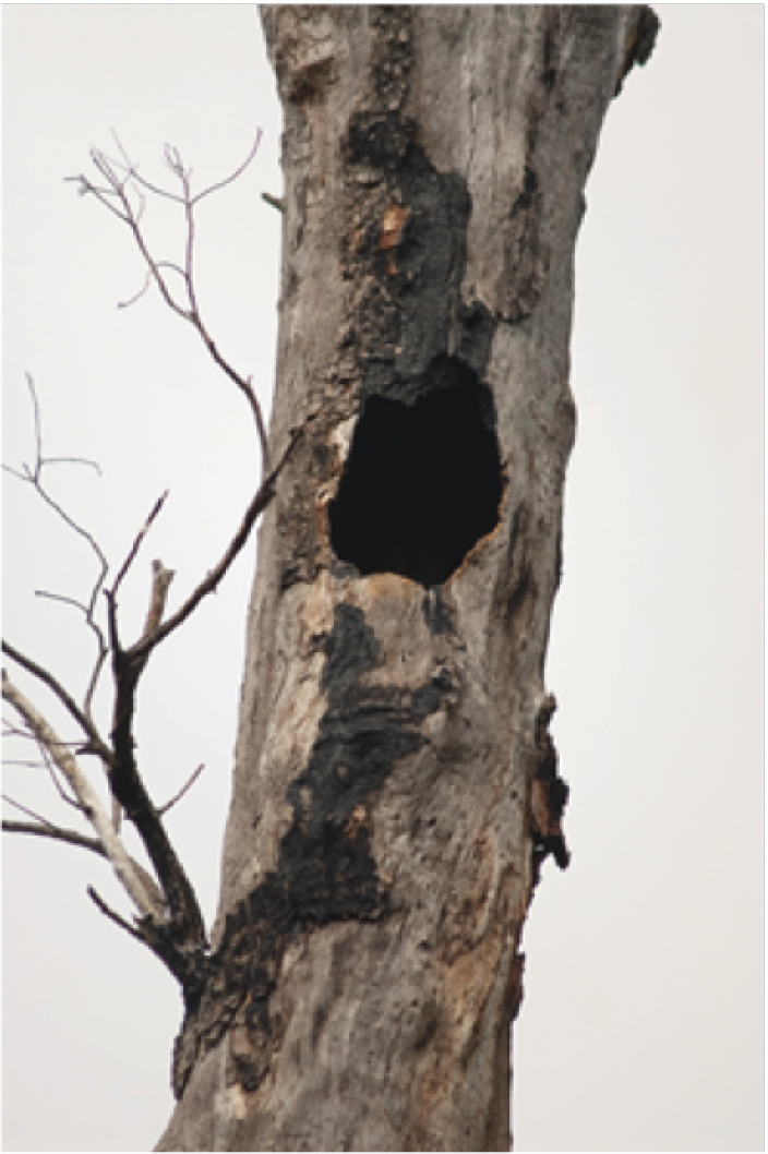 A chimney-type and side entry-type nest hollow that have formed on stag trees