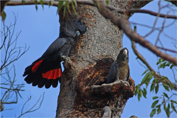 A pair of Forest Red-tailed Black Cockatoos at a nest hollow in Marri