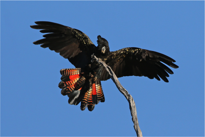 Immature male Forest Red-tailed Black Cockatoo