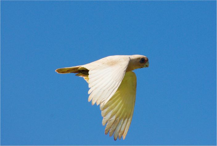 Little Corella.