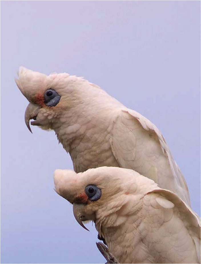 Western Long-billed Corella (Muir's Corella).