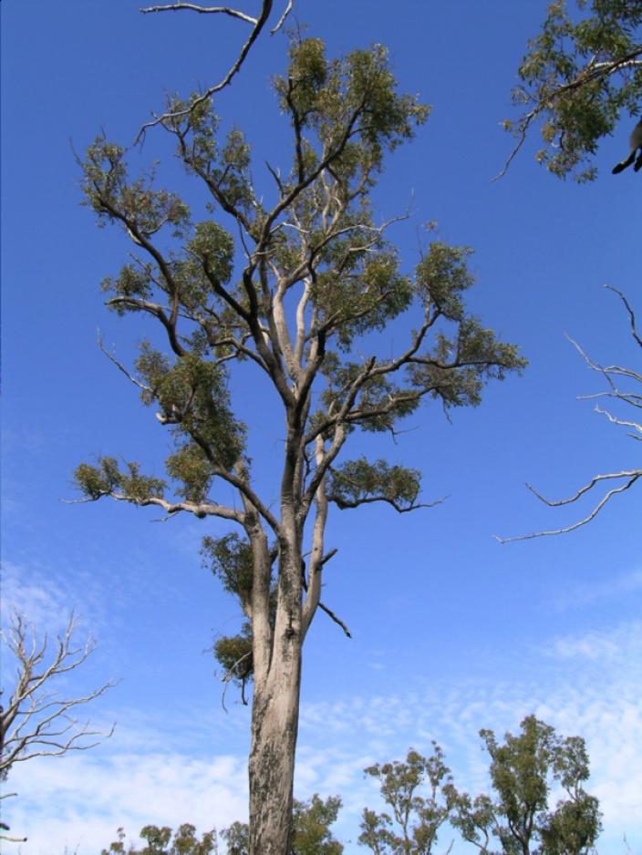 Veteran nest tree (Jarrah)