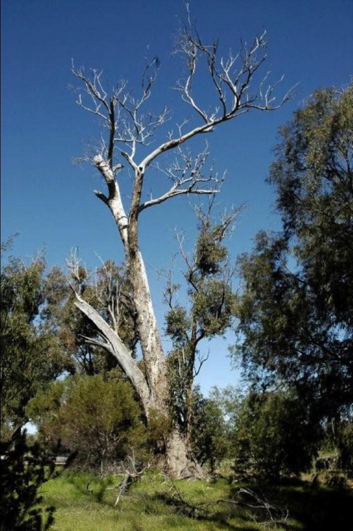 Stag nest tree (Tuart)
