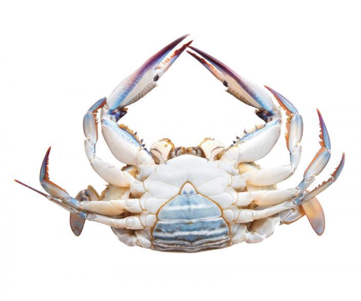 A female Blue Swimmer Crab