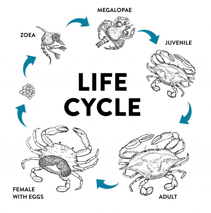 The lifecycle of a Blue Swimmer Crab