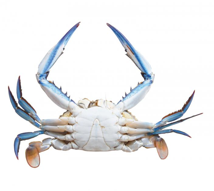 A male Blue Swimmer Crab