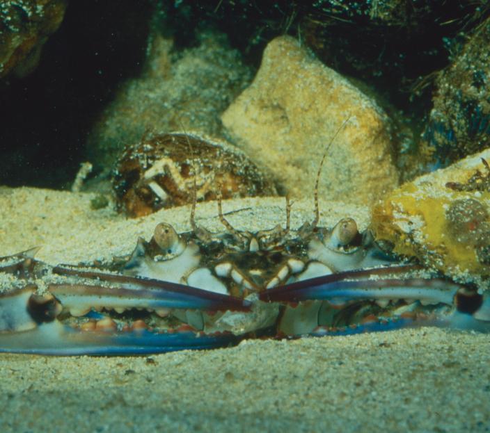 A Blue Swimmer Crab underwater