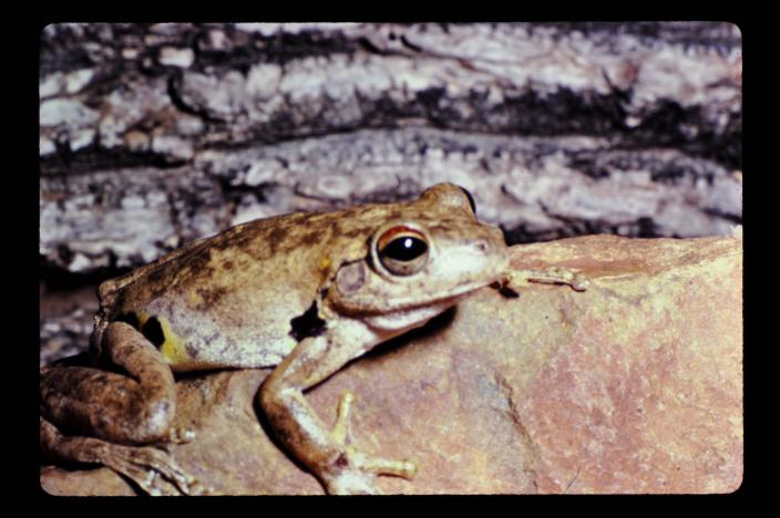 Image of a Northern Laughing Tree Frog