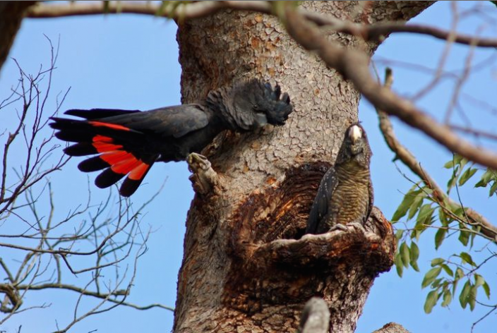 Image of a pair of Forest Red-tailed Black Cockatoos