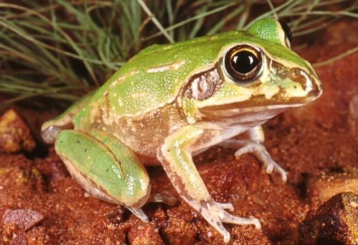 Image of a juvenile Giant Frog