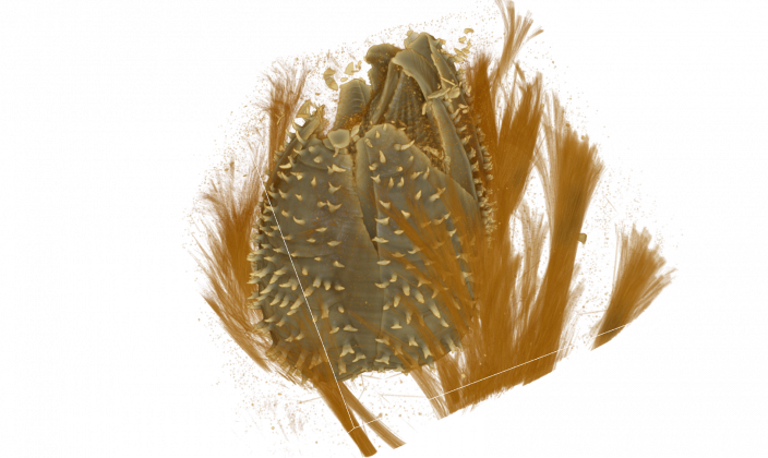 A micro-CT scan of a sponge barnacle inside its host sponge. most of the sponge