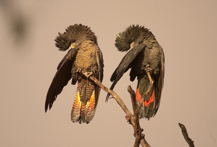 Female and male Forest Red-tailed Black Cockatoos perched on a branch preen in s
