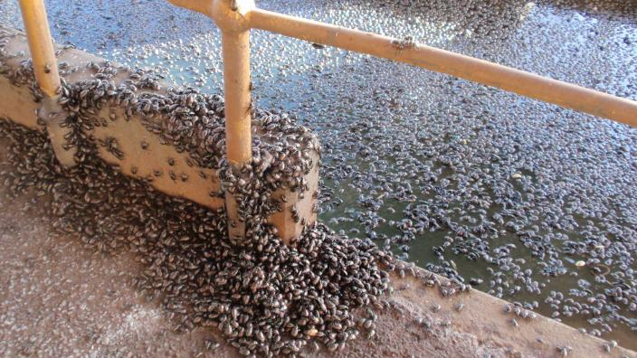 Thousands of shiny brown beetles swarm on the ground