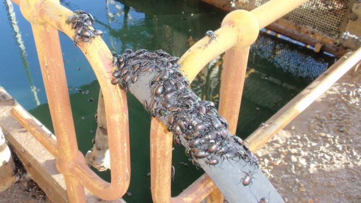 Beetles mass together on a pole