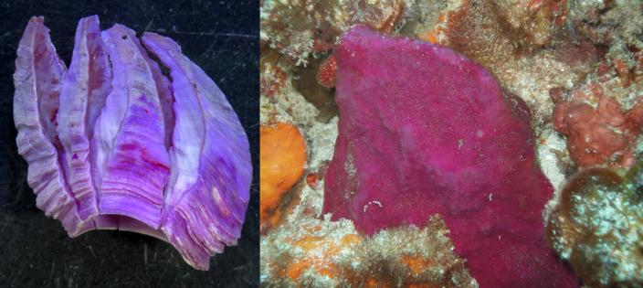 Left, the newly described Membranobalanus porphyrophilus. Right, the host sponge