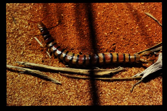 Image of a long, stripy centipede