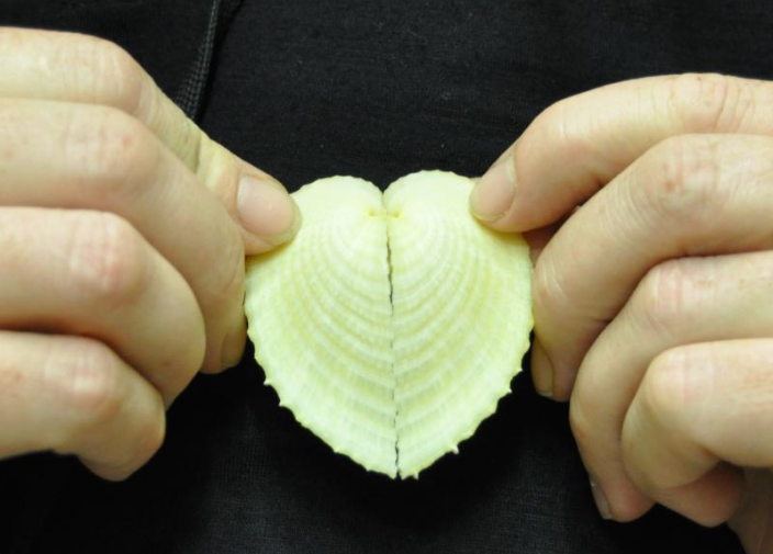 Image of Corculum cardissa, the heart cockle