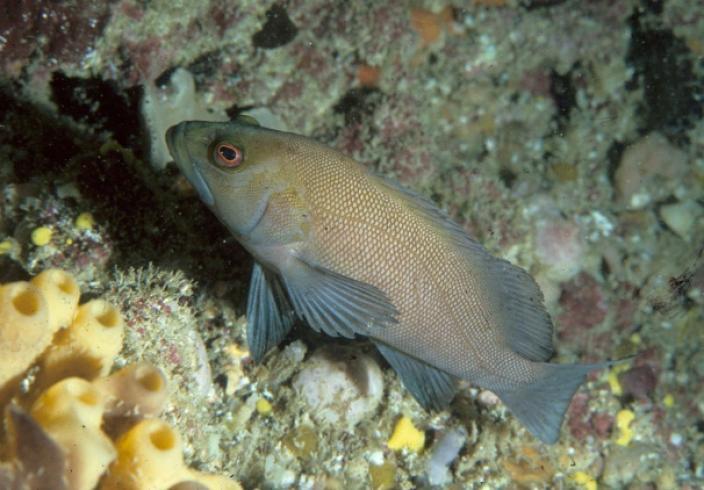 A small Breaksea Cod resting