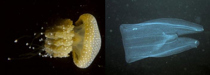 Profile of two sea-jellies