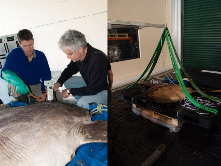 Performing conservation work on a preserved sunfish