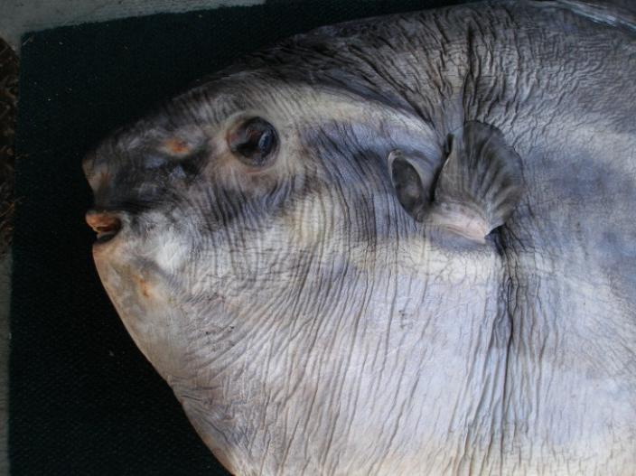 Close up photo of a sunfish's head