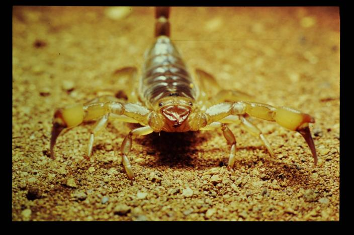 Front on image of a scorpion