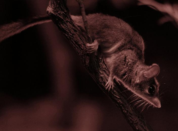 A red-tailed phascogale at Perth Zoo.