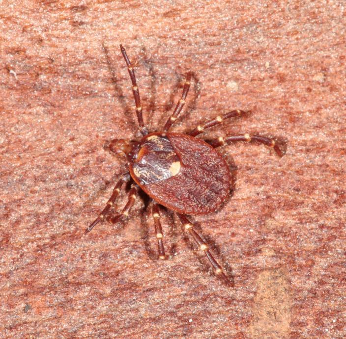 Image of a Common Kangaroo Tick