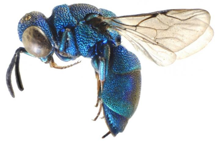 A close up of a bright blue wasp with a segmented abdomen
