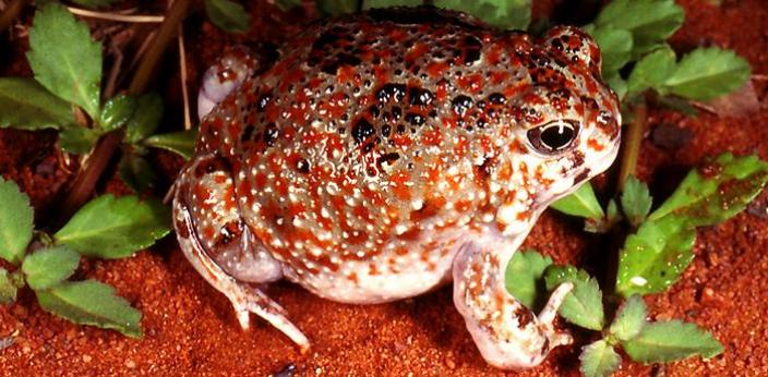 Meet The Frogs That Live In The Desert Western Australian Museum