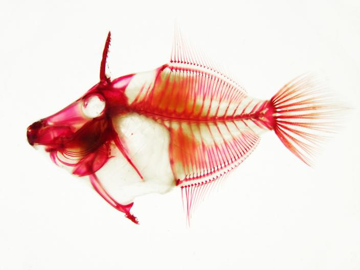 Image of the skeletal structure of a fish