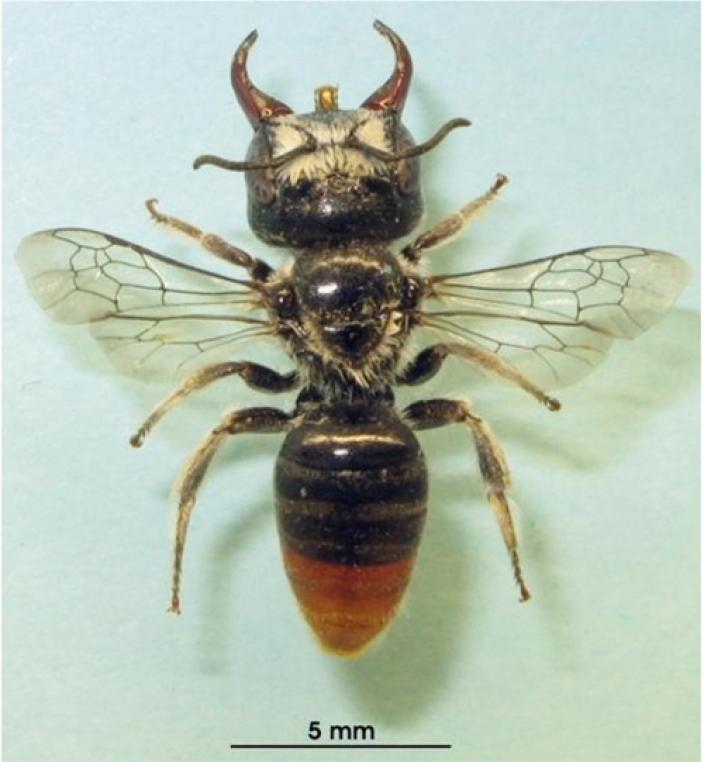 Pinned specimen of the megamouth bee