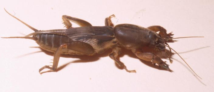 A preserved and mounted insect, similar to a cricket