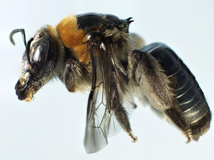Close up of a mounted bee specimen