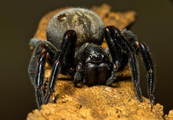 Black house spider - Badumna insignis